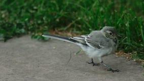 Wagtail bird stock footage