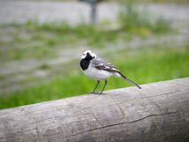 Wagtail. A wagtail bird poses on wood Royalty Free Stock Photo