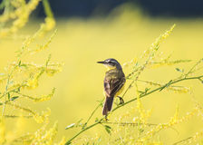 Wagtail bird sitting a branch of clover on a summer field Royalty Free Stock Photos