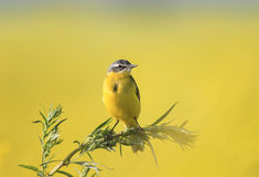 Wagtail bird sitting a branch of wormwood in the summer f Royalty Free Stock Photography