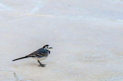 Wagtail bird Royalty Free Stock Image