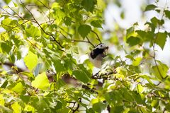 Wagtail bird with insects in beak. Wagtail bird in tree with insects in beak stock image