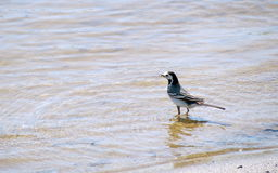 Wagtail bird in water Royalty Free Stock Image