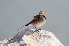 Wagtail blanc Photographie stock