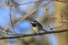 Wagtail on a branch Royalty Free Stock Images