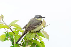 Wagtail on a branch. The photograph shows a wagtail on a branch Stock Photo