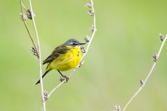 Wagtail on a branch. The photograph shows a wagtail on a branch Stock Photos