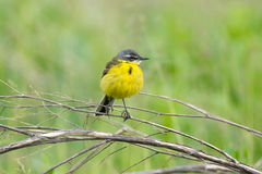 Wagtail on a branch. The photograph shows a wagtail on a branch Royalty Free Stock Image