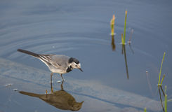 Wagtail branco Imagem de Stock Royalty Free
