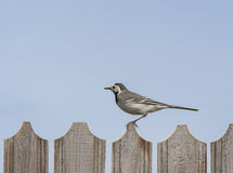 Wagtail branco Fotos de Stock Royalty Free