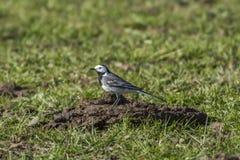Wagtail branco (Motacilla alba) Fotografia de Stock Royalty Free