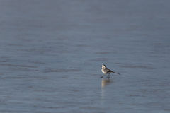 Wagtail branco (Motacilla alba) Fotos de Stock Royalty Free