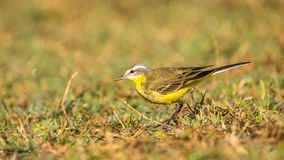 Yellow white bird, wagtail Stock Photography