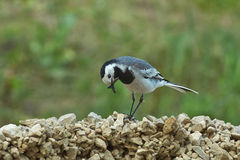 Wagtail collects twigs to build nests. Stock Images