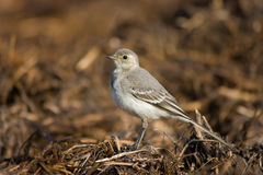 Wagtail debout Images stock