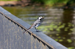 Wagtail with dragonfly Royalty Free Stock Photography