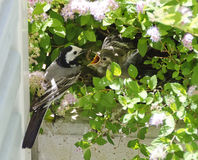 Wagtail feeding juvenile bird Royalty Free Stock Images
