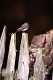 Wagtail, fence. Wild wagtail standing over de wooden fence Stock Photo