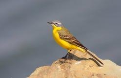 Wagtail giallo Immagine Stock Libera da Diritti