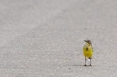 Wagtail giallo Fotografia Stock