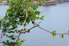 Wagtail sits on a branch. Wagtail gray sitting on a birch branch with green leaves against the background of water stock photos