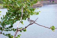 Wagtail sits on a branch. Wagtail gray sitting on a birch branch with green leaves against the background of water stock image