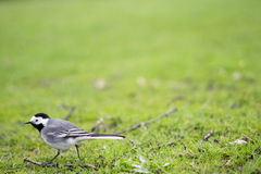 Wagtail on Green Grass Abstract Background Royalty Free Stock Photo