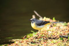 Wagtail gris. Photo stock