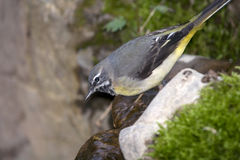 Wagtail gris (Motacilla cinerea) Images stock