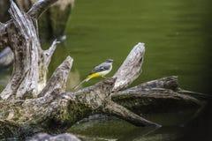 Wagtail gris (Motacilla cinerea) Fotos de archivo libres de regalías