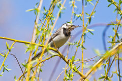 Wagtail holding dry leaves for nest Royalty Free Stock Image