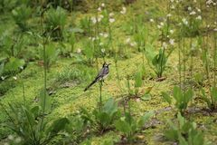 Wagtail on the hunt Royalty Free Stock Photography