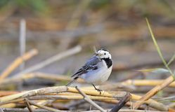 Wagtail with insect Royalty Free Stock Photo