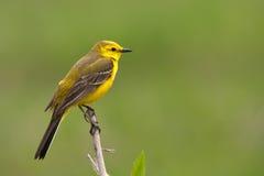 Wagtail jaune Photo stock