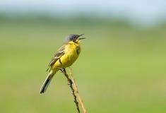 Wagtail jaune Photo libre de droits