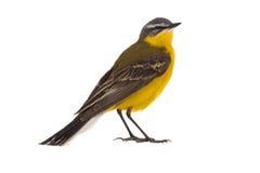 Wagtail jaune occidental Photographie stock libre de droits