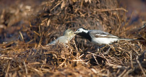 Wagtail lactescent chick Stock Photography