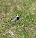 Wagtail on the lawn Stock Photos
