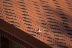 Wagtail looks at the camera with interest on the terracotta roof stock photography