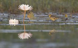 The wagtail and lotus flowers. With reflection royalty free stock image