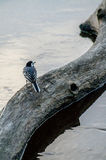 Wagtail near the water. Royalty Free Stock Photos