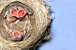 Wagtail nest with hatchlings with 5 days nold Royalty Free Stock Photography