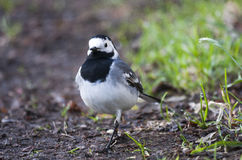 Wagtail stock photo