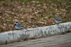 Wagtail in the Park. Stock Photography