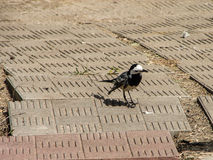Wagtail in the Park. Royalty Free Stock Photography