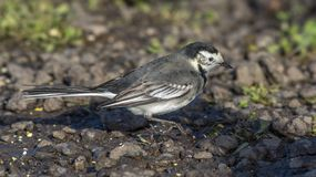 Wagtail Pied imagem de stock royalty free