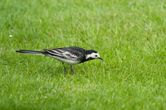 Wagtail Pied Foto de Stock