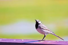 Wagtail prêt à voler Photo stock