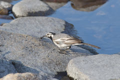 Wagtail with prey Royalty Free Stock Photography