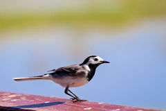Wagtail ready to fly Stock Photos